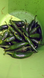These peppers are ready too. Be careful when picking peppers – always keep the hot ones separated from the sweet ones, so there is no surprise in the kitchen.
