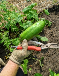 Ryan also picked the first cucumbers of the season. I prefer small to medium sized cucumbers. Cucumbers, Cucumis sativus, are great for pickling – I try to find time for pickling every year.
