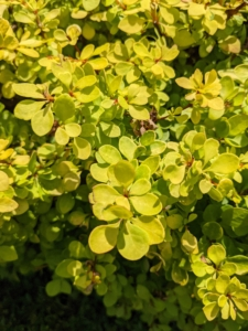 Golden barberry, Berberis thunbergii, is a deciduous shrub that is compact, adaptable, very hardy and shows off striking yellow foliage year-round.
