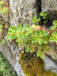 Sedum, like other succulents, retain water in their leaves and can thrive in dry climates. They need little soil and water to survive, which makes them excellent for planting here.