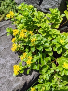 Here is more sedum growing at the base of a step. Once the roots take hold, the plant wedges itself in and begins to spread. Sedums thrive nearly anywhere as long as they get good drainage.