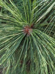 The needles on this dwarf white pine are soft and blue-green in color.