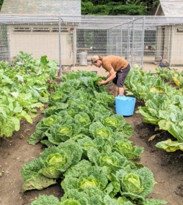 Our cabbage patch looks excellent. Some cabbages are ready in as few as 80 days from seed and 60 days from transplanting, while others take as long as 180 days from seed or 105 days from transplanting, depending on the variety. Here's Ryan looking for the best ones to harvest.