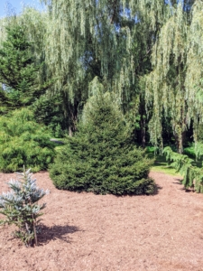 Once trees are mature, they need little maintenance except for regular mulching and removal of dead or diseased branches. Picea orientalis 'Nigra Compacta' or oriental spruce is a medium to large, densely branched evergreen.