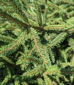 Its needles are flattened and glossy dark green and are shorter than the needles of other spruce species.