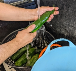 The cucumbers are rinsed with cold water before bagging. Cucumbers require a long growing season, and most are ready for harvest in 50 to 70 days from planting. The fruits ripen at different times on the vine, but it is essential to pick them when they are ready. If they are left on the vine too long, they tend to taste bitter.