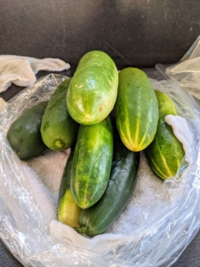 Ryan picks cucumbers when they are at least six to eight inches in length. These will be so sweet and juicy.