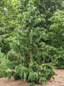 Callitropsis nootkatensis 'Pendula' or weeping Alaskan cedar, is a slender, strongly weeping form that grows to as much as 35-feet tall.