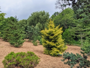 On the right is Picea orientalis 'Skylands' - with beautiful short, tight, yellow foliage, and a graceful form. Oriental spruce is a slow-growing, upright tree that typically grows about eight to 10-feet tall over the first 10-years. The name 'Skylands' has no relation to my home in Maine, but I was attracted to it because it was called 'Skylands.' This tree was introduced by Skylands Botanical Garden in New Jersey, in 1979.