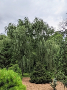 On one side of this pinetum are the tall and gorgeous weeping willows. Weeping willows are wide and tall with beautiful curtains of drooping branches that sweep the ground. I have several groves of weeping willow trees growing at my farm.