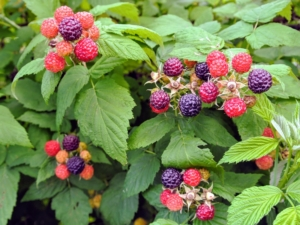 This all-purpose fruit is firm, sweet, and full of flavor. It tastes great eaten fresh off the stem or made into preserves. Ripe raspberries are rich in color, whether they are red, golden, or black. The entire berry should be consistently colored also, and full in shape before picking.