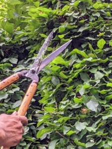 We trim the hornbeams every year around this time. We use a traditional English style of pruning, which includes a lot of straight, clean edges. A well-manicured hedge can be stunning in any garden, but left unchecked, it could look unruly.