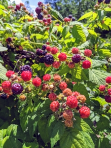 Raspberries need full sun for the best berry production. They should be planted in rich, slightly acidic, well-drained soil that has been generously supplemented with compost and well-rotted manure. I am very fortunate to have such excellent soil here at the farm.