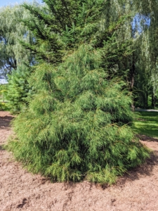 This is a threadleaf cypress. It boasts showy, greenish-gold to gold colors. Shrubs in the threadleaf group generally want full sun - they thrive in this pinetum.