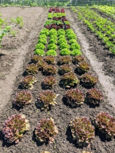 And don't forget all the lettuce. Lettuce is a fairly hardy, cool-weather vegetable that thrives when the average daily temperature is between 60 and 70-degrees Fahrenheit. Look how beautiful these lettuces are growing in this bed.