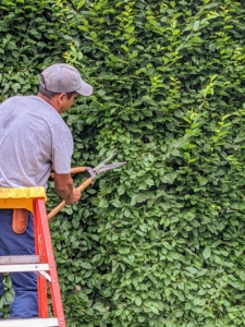 The hornbeam grows pretty quickly – about four to five feet per year, so it is important to trim and sculpt it regularly. Hornbeam is also very hardy and frost resistant, which is good in this area.