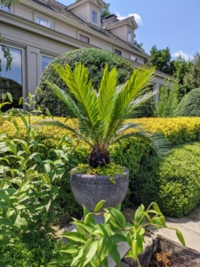 On the terrace, I also have a few potted plants. This is a cycad. Cycads are seed plants with a very long fossil history. They typically have a stout and woody trunk with a crown of large, hard and stiff, evergreen leaves.