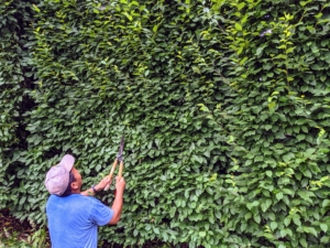 Phurba works from the ground with his Japanese hedge shears. He stops every few minutes to assess his work.