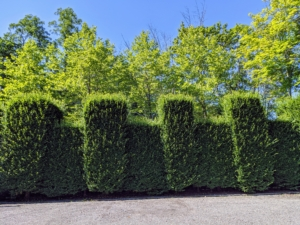 This tall hornbeam hedge grows in the parking lot directly in front of my main greenhouse. It is quite pretty here, but serves primarily as a privacy and noise barrier from the road. This photo was taken before any pruning began - it has so much lush new growth.