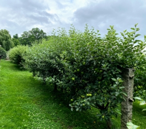 When I first moved to Bedford, I found a perfect location to plant a little orchard of espalier apple trees - this space behind my long carport not far from my Winter House. Espalier refers to an ancient technique, resulting in trees that grow flat, either against a wall, or along a wire-strung framework.