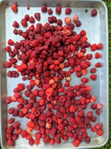 These red raspberries are placed on a baking sheet in one layer, so nothing gets crushed. All the picked fruits are kept in the shade until they are brought indoors.