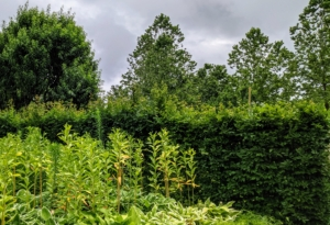 Here is the side of the hedge just last week before it was given a good pruning - They have grown closely together in just a short time, creating the hedge border I envisioned.