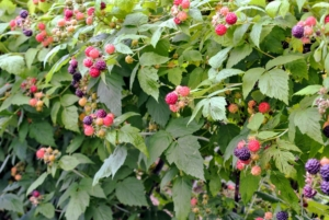 One plant can produce several hundred berries per season. Raspberries are vigorous growers and will produce runners that fill up a bed.