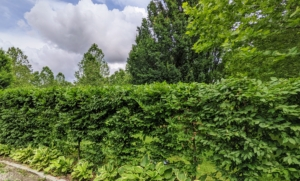 And here is the hedge all done and pruned perfectly - and all completely by hand. It looks great. What pruning jobs are you doing around your home? Share your comments below. Soon, I will show you all the gorgeous lilies that grow in this formal garden - wait and see.