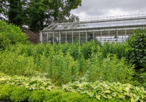 In front of my main greenhouse, one can see how much the hornbeam hedge border surrounding my formal lily and hosta garden has grown. Carpinus betulus, the hornbeam is a fast-growing deciduous tree. In fact, it can grow about four to five feet per year. I keep a close eye on all the hornbeams - it's crucial to prune them regularly, so they never look too overgrown and unruly.