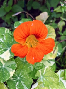 These flowers can vary in shade, but the most popular versions are orange, yellow, pink, red, or mahogany. There are also varieties in subdued shades of butter yellow and cream. This variety has variegated leaves.