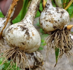 This is Elephant garlic – our biggest variety. Jumbo sized Elephant garlic will have about eight to 11 cloves depending on the size.