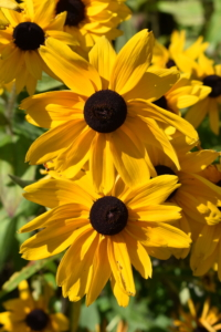 These are the showy flower heads of rudbeckia. Rudbeckia's bright, summer-blooming flowers give the best effect when planted in masses in a border or wildflower meadow. In general, rudbeckias are relatively drought-tolerant and disease-resistant. Flower colors include yellow and gold, and the plants grow two to six feet tall, depending on the variety.