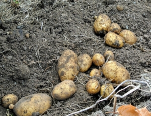 Because potatoes grow underground, it is always a surprise to see how prolific the plants have been.