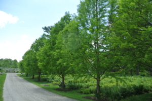 And here are the bald cypress trees in 2015. These trees have developed so well over the years.