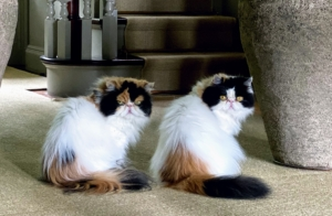 """And in less than an hour, they're both """"free"""" to roam. My cats definitely like their routines – they like to eat and go out at the same times and they like to sleep and lounge in the same places. Peony and Tang are very healthy and happy."""