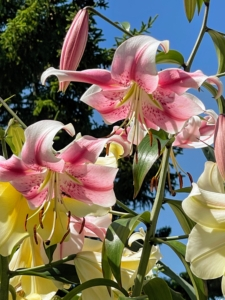 I have many lilies growing at Skylands. Some lilies can be quite tall – they can grow in height up to six-feet. My granddaughter, Jude, took a series of beautiful lily photos - the colors are so vibrant.