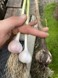 Brian brushes off any debris and dirt from the bulb and the roots. On the left are two cleaned garlic heads. On the right, one fresh from the soil and ready to be cleaned.