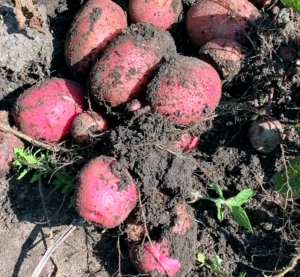 It's fun to dig and find multiple potatoes waiting to be picked. They are not too deep – any potatoes will only be within the first five-inches of soil.