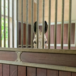 My donkeys always know who's visiting the stable! Here's Billie with her front up on a platform looking through the bars of her stall to see what's going on in the stall next door. My donkeys reside in a large stable located on one side of the farm at the foot of my long Boxwood Allee.