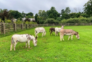 Ideally, the outdoor space should consist of donkey-safe grazing pasture, and at least half an acre of land per donkey – more if possible. Donkeys are happiest with plenty of space to roam around and graze, which they do for the majority of the day. The five are in their large paddock from afternoon and through the night. During the summer, this is when it is coolest. In the morning, they are brought back into the stable where they are fed and groomed.