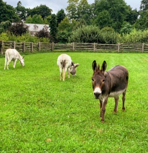 """Here's Rufus coming to say hello. Donkeys are very social animals. Do you know... male donkeys are called jacks and females are called jennets or jennies? Billie, in the middle, is a jennie. """"JJ"""" is also a jennie."""