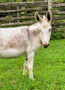 Here is Clive – the tallest of the group, but very friendly. And look at his big ears. A donkey is capable of hearing another donkey from up to 60 miles away in the proper conditions. They have a great sense of hearing, in part because their ears are so large.