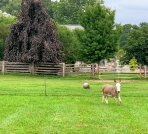 """The donkeys love to graze, but they also like to run and play - they ran as soon as someone came near. Here's """"TJ"""" - running around the pen, perhaps hoping someone will chase him."""