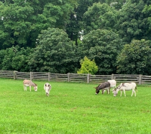 """On the right are the original three Sicilian donkeys – Billie, Rufus, and Clive. On the left are the two youngsters, Truman """"TJ"""" Junior and Jude """"JJ"""" Junior. They joined my stable in May 2019 and are doing great. These two are very bonded and are never far apart."""