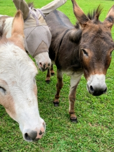 They all came running when Dolma arrived with a treat for each. The thing to remember, however, is that donkeys cannot be overfed. Eating too much protein and other nutrient-rich foods can make them sick. They also tend to gain weight very easily. I am very glad these donkeys are in excellent shape. Billie is wearing a fly mask, but she can still see very clearly. She is the only one of the herd who doesn't mind wearing it - she's smart.