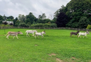 And the five are off once again... At the fastest, a fit donkey can run up to 15 miles per hour.
