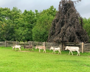 I am so pleased all five donkeys get along very well. Here they are walking in a line around their paddock - this time, Billie is their leader. See you later my sweet donkeys.