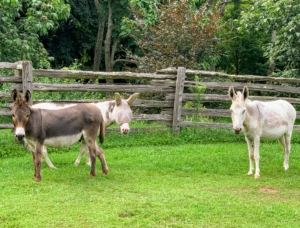 Donkeys also understand dozens of voice commands, come running when they are called, and are fiercely loyal to those they trust.
