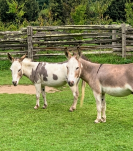 """""""JJ"""" and """"TJ"""" stopped for a quick photo. The best photos are when the ears are facing forward. Donkeys communicate by using a wide range of body language and vocalizations. They carefully move and position their heads, necks, bodies, and tails in order to give clues as to their moods."""