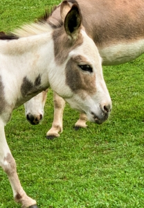 Donkeys have a reputation for stubbornness but this is because of their highly developed sense of self-preservation. It's difficult to force or frighten a donkey into doing something that's contrary to its own best interest or safety.
